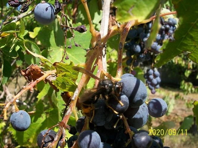 Frelon asiatique sur du raisin 02