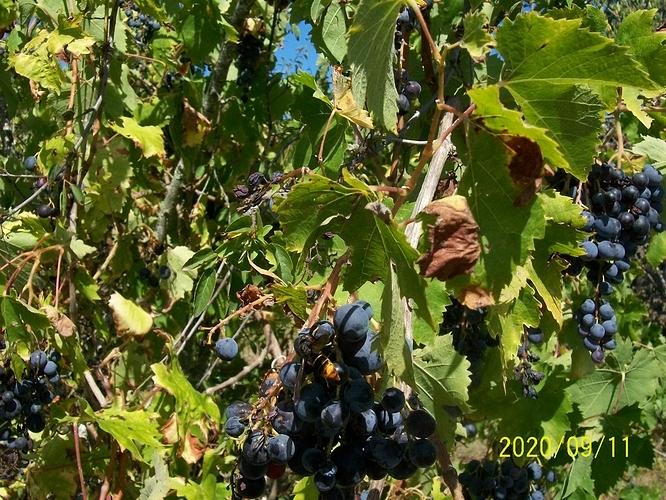 Frelon asiatique sur du raisin 01