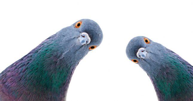 anti-pigeon_shutterstock_1277215624_ban-645x338